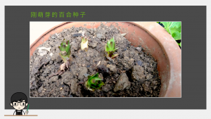 刚萌芽的百合种子